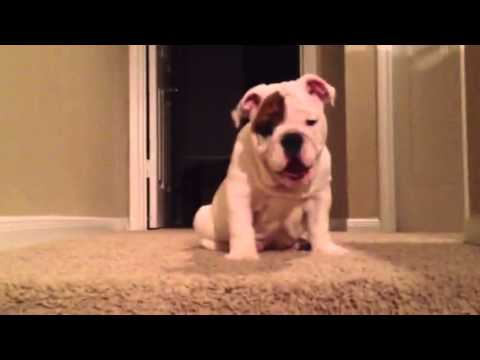 Bulldog puppy attempts epic first journey down stairs!