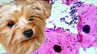 Кандидоз у собак   Причины   Симптомы   Лечение.