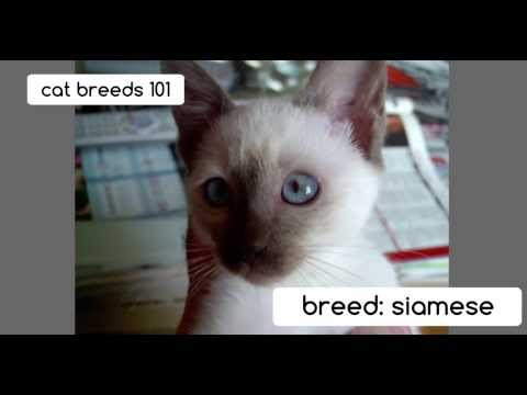 Siamese Cats | Cat Breeds 101