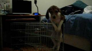 Chloe's Escapes (beagle Puppy Climbs And Escapes Her Exercise Pen)