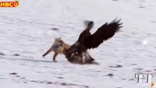 🔥Những pha SĂN MỒI ĐỈNH CAO trong thế giới động vật