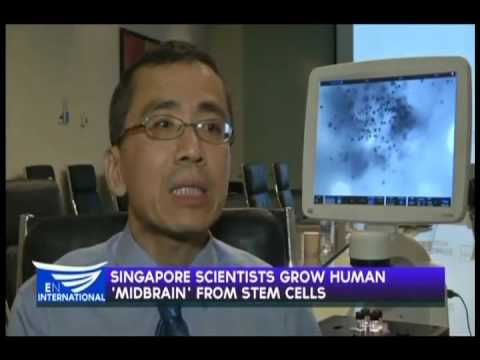 Singapore scientists grow human 'midbrain' from stem cells - Reuters