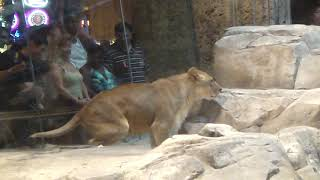 asian family in vegas MGM grand real lion in cage inside casion
