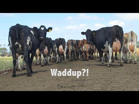 Milking 1000 COWS in Tasmania!