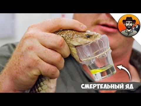 Смертельно Опасная Работа - Дояр Ядовитых Змей