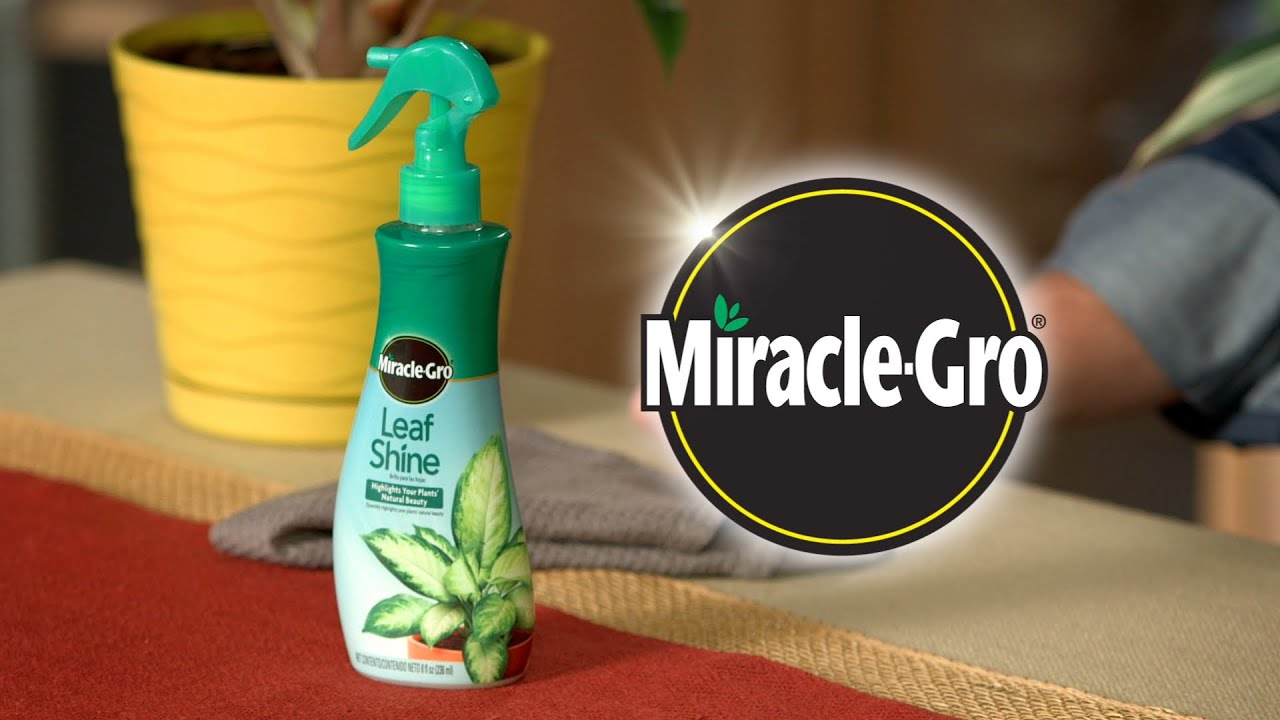 How to Use Miracle-Gro® Leaf Shine to Care for Your Hard-Leafed ...