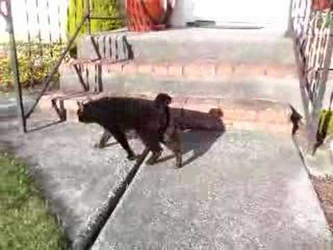Ozzy Our Black Japanese Bobtail Cat