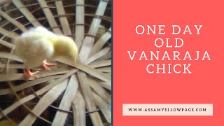 One Day Old Vanaraja Chick, Introduction of Vanaraja Chicken Farming