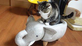 ゾウさんで爪とぎして叱られちゃったねこ。-Maru was scolded for scratching his claws with the elephant.-