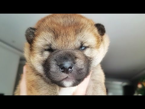 shiba-inu-puppy-opening-her-eyes-for-the-first-time!