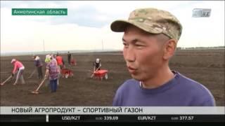Многолетнюю газонную траву начали выращивать неподалеку от Щучинска(, 2016-06-26T01:48:48.000Z)