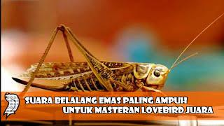 Gambar cover Suara Belalang Emas Paling Ampuh Untuk Masteran Lovebird Juara