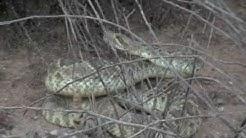Mojave Green Captured at home In Wittmann Arizona