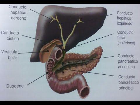 ANATOMÍA DEL APARATO DIGESTIVO- Hígado, vesícula biliar y páncreas ...