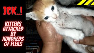 3 Kittens Attacked By Hundreds of Fleas and How To Get Rid Of Fleas