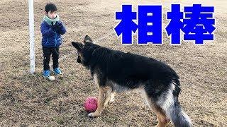 grandchild and German Shepherd dog 下孫の響、体を動かしたい、気分転...