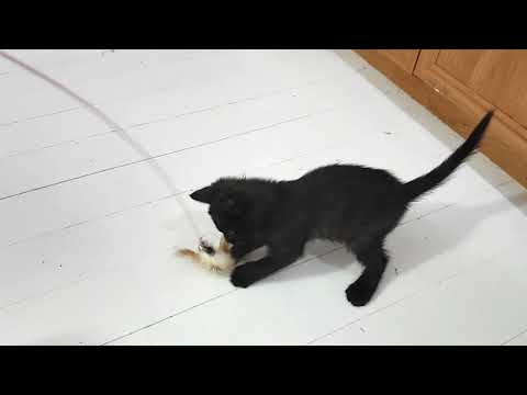 FUNNY CAT PLAYING WITH TOY