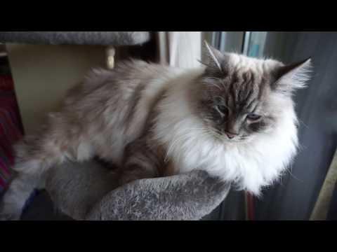 Beautiful Siberian cat relaxing on cat condo, fluffy  Neva masquerade