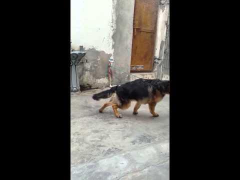 Long Coat German Shepherd Puppies Sale 9999039993 Youtube