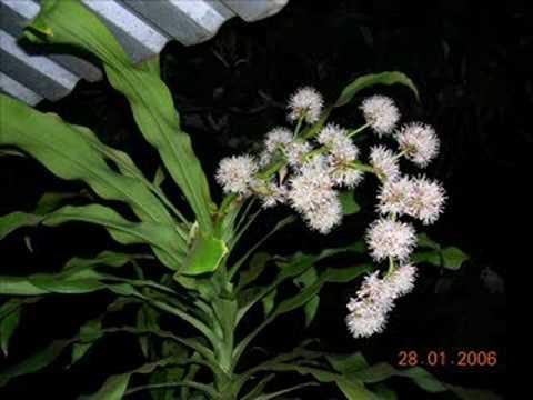 Thiết mộc lan(cây phát tài)