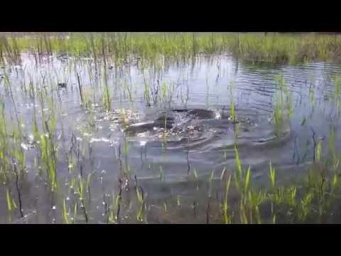 Нерест сазанов в Астрахани