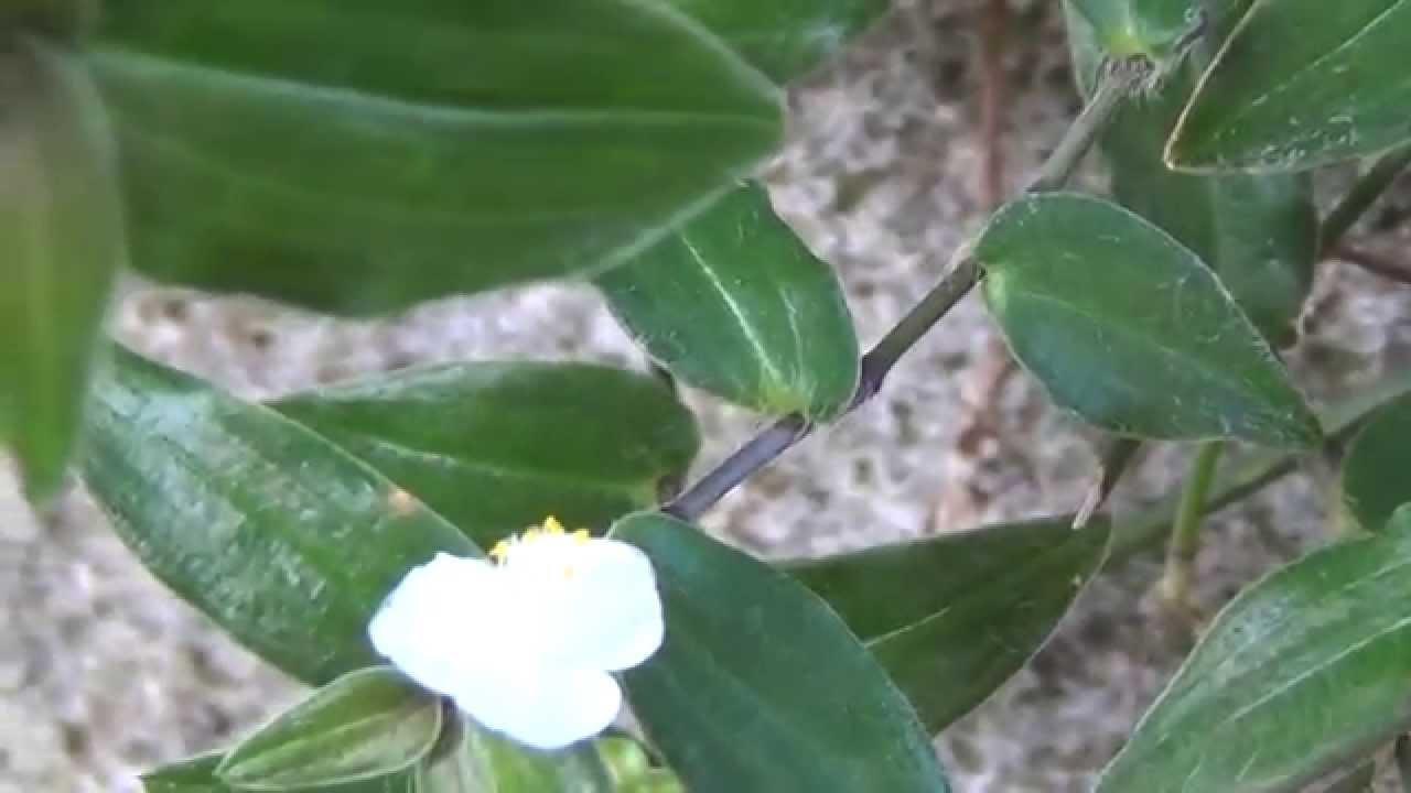 Super FLOR VÉU-DE-NOIVA - Meu jardim ! - YouTube OA85