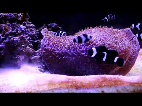 Amphiprion Ocellaris人工黑公子小丑Black And White Ocellaris Clownfish(Captive-Bred)