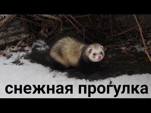 видео: Хорёк Сёма и пёс Шарик гуляют вместе. Снежная прогулка.
