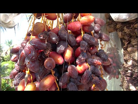 DATES - Growing & Eating Organic Locally Grown Dates in Phoe