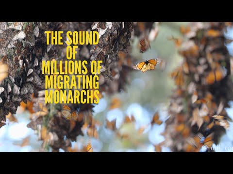 This Is What Millions of Monarch Butterflies in Migration Sound Like