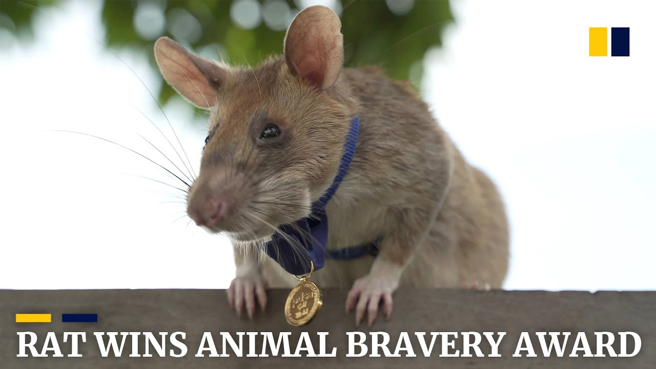 Rat wins gold medal for detecting landmines in Cambodia