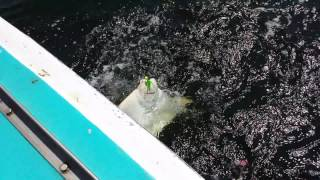 Cownose Ray caught in Sandy Hook Bay