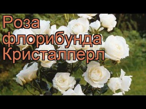 Вопрос: Как выглядит роза флорибунда Боттичелли?