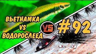 #92 Водоросли в аквариуме. ВЬЕТНАМКА VS ВОДОРОСЛЕЕД. Audeuinella VS SAE