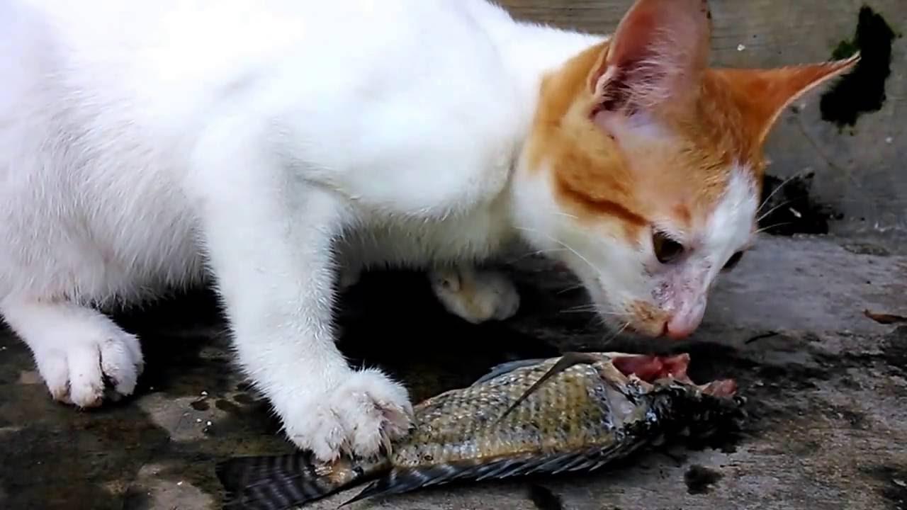 Download 66+ Gambar Kucing Makan Ikan Keren Gratis