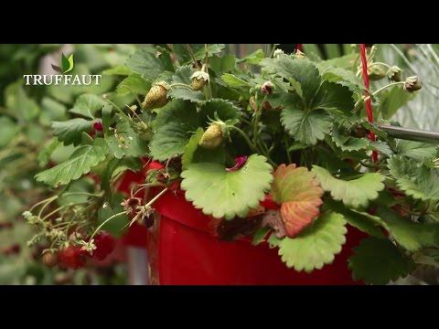 quel entretien pour les fraisiers jardinerie truffaut. Black Bedroom Furniture Sets. Home Design Ideas