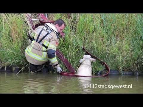 Brandweer Redt Schaap Uit De Watergang Oost Souburg 28-07-2019