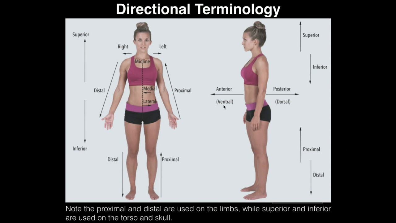 A&P I Lab | Exercise 1: Anatomical Position, Directional Terms ...