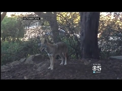 Pack Of Coyotes Surround Dog Walker In San Francisco's Presidio