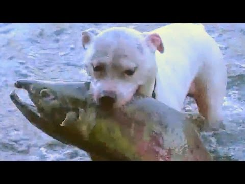 Dogs catch huge salmon Dogs Take to Fishing Like Ducks to Water