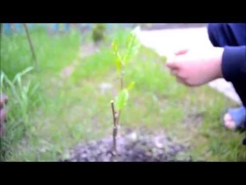 Магнолия-Magnolia,размножение с помощью пшеници