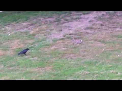 Kaninchen verjagt Krähe