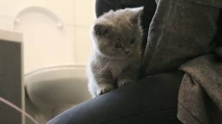 Teddy & Smokey   The British Shorthair Kittens   #1 First Day at Home