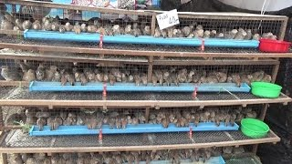 Commercial quail cages, Designed for egg production.
