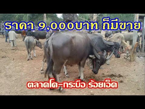 สำรวจราคาควาย  ราคา9,000บาท ก็มีขาย ตลาดนัดวัว-ควาย จ.ร้อยเอ็ด 5 ม.ค.62