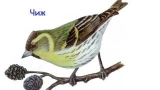 Пение птиц - Чиж