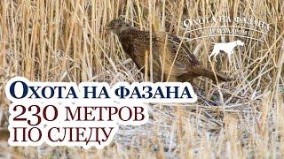 Охота на фазана - 230 метров от стойки до подъема - Охота с дратхааром