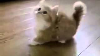 Породы кошек - котенок манчкин (Breeds of cats - the kitten munchkin)
