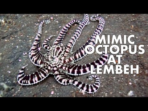 Dive with Mimic Octopus at Lembeh, North Sulawesi, Indonesia, using canon g10 with underwater casing