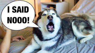 My Husky REFUSES To Take A Bath! (SHE ARGUES!)